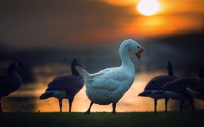 Back Up Plans for Golden Geese – seven ways you can self-sabotage: Wasting Time and Complicating Communication