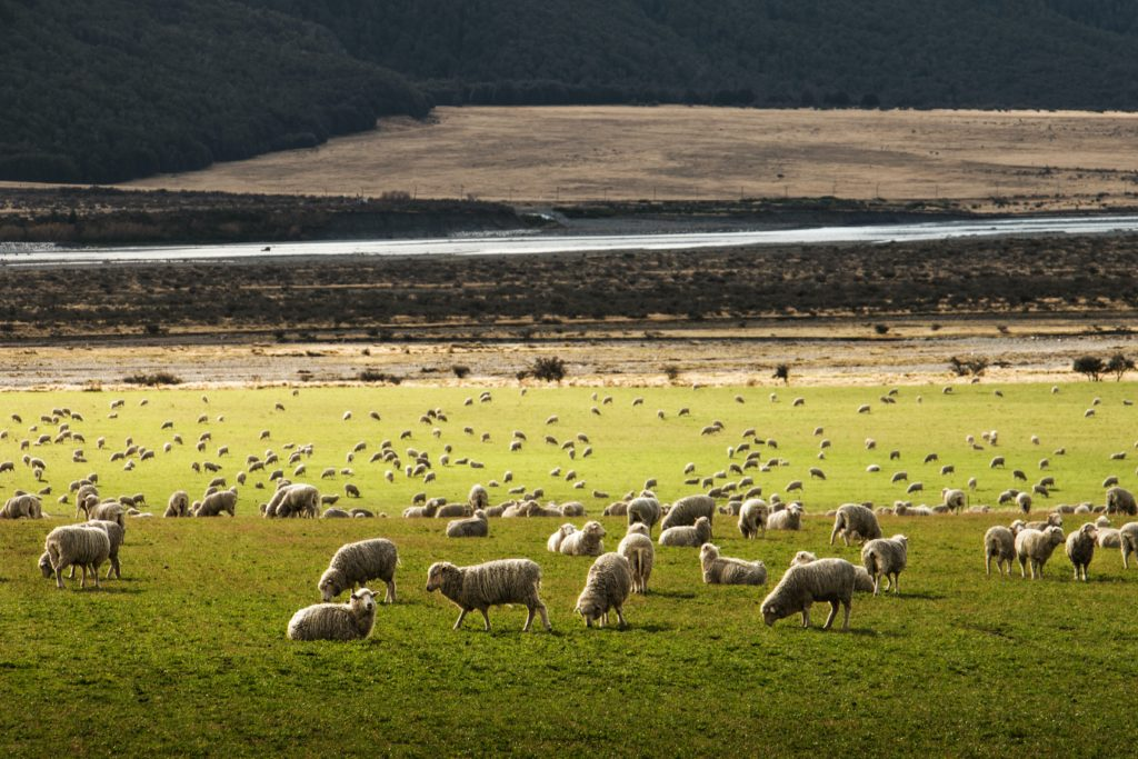 bunkers in new zealand - as are sheep